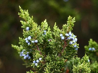 juniper berries have antibacterial properties