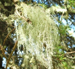 lichen hanging from tree