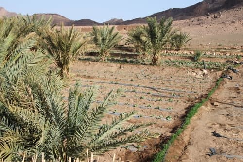 desert farming with drip irrigation