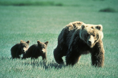 Mother bear and cubs walking through a field