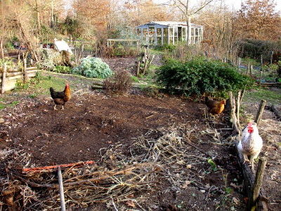 chickens scratching around on a rural hobby farm