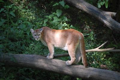 Mountain lion standing on a tree limb