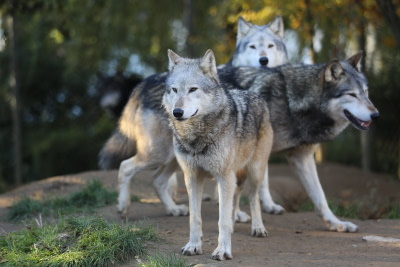3 wolves hanging out in a pack