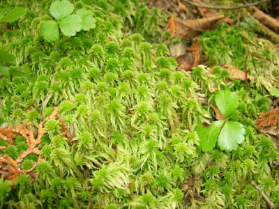 peat moss can be used in replacement of cotton to dress wounds
