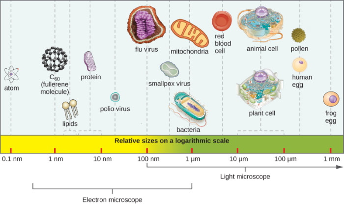 relative sizes of microbes on chart